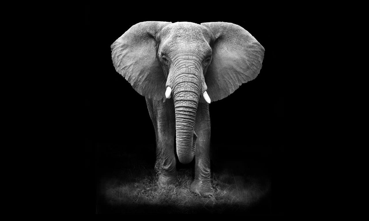 فيل فى خلفية مظلمة