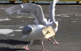 بحث: التحديق في طيور النورس يمكن أن يمنعها من سرقة الطعام